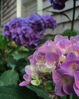 """Hydrangea I, 2011 Photograph 5"""" x 7"""" $5 (prints), $15 (matted/framed)"""