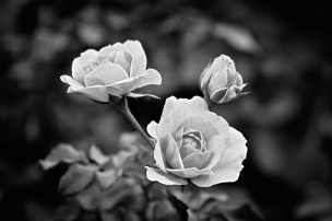Grandma's Rose Photograph Matted & framed $135.00