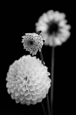 Garden Dahlia Photograph Matted & framed SOLD!