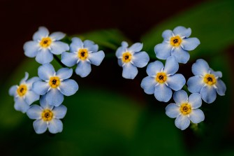 """Water Forget Me Not Photograph on canvas 20"""" x 30"""" $235.00"""