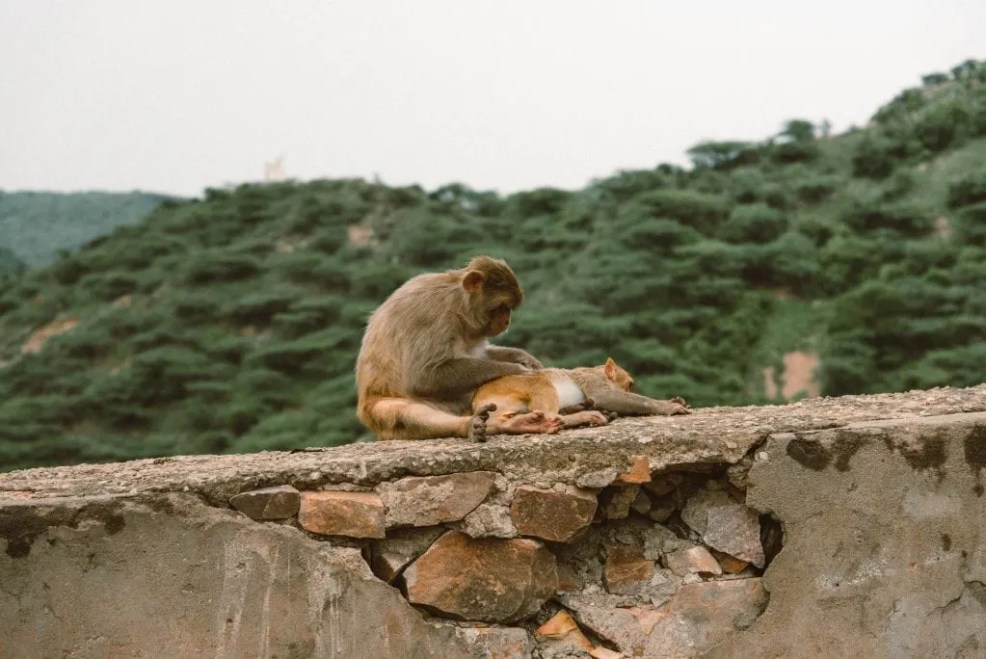 Monkey temple, things to do in Jaipur, Jaipur travel guide