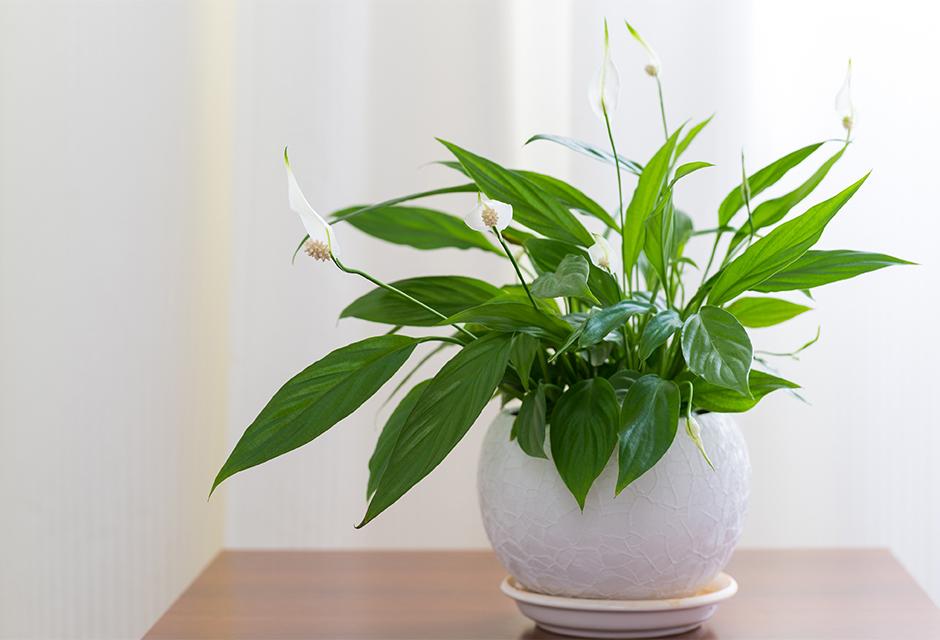 spathiphyllum plante d interieur gamm vert