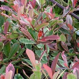 photinia plante d exterieur gamm vert