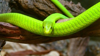 green-mamba-174351_640