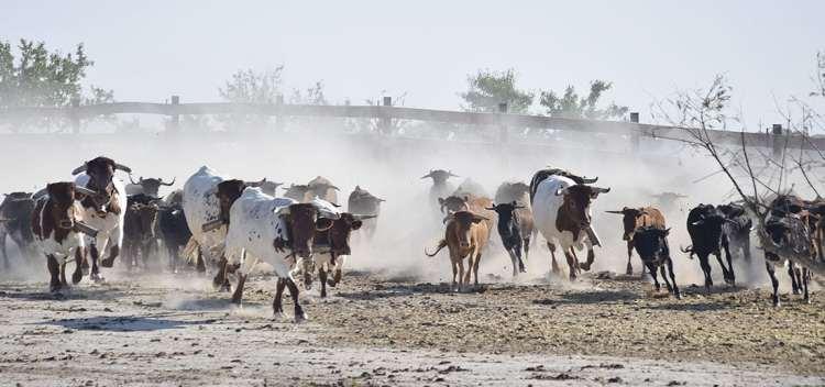 Bueyes y vacas corren por uno de los cercados de la finca de la Ganadería San Isidro