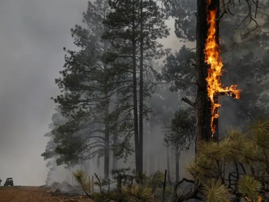 Flames climb a pine tree during the A1 Mountain prescribed