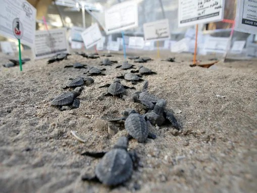 Newly hatched sea turtles at a conservation center