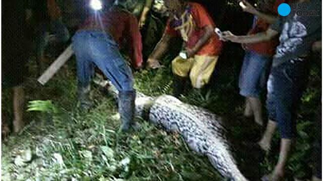Indonesian Farmer Swallowed Whole By 23 Foot Long Python