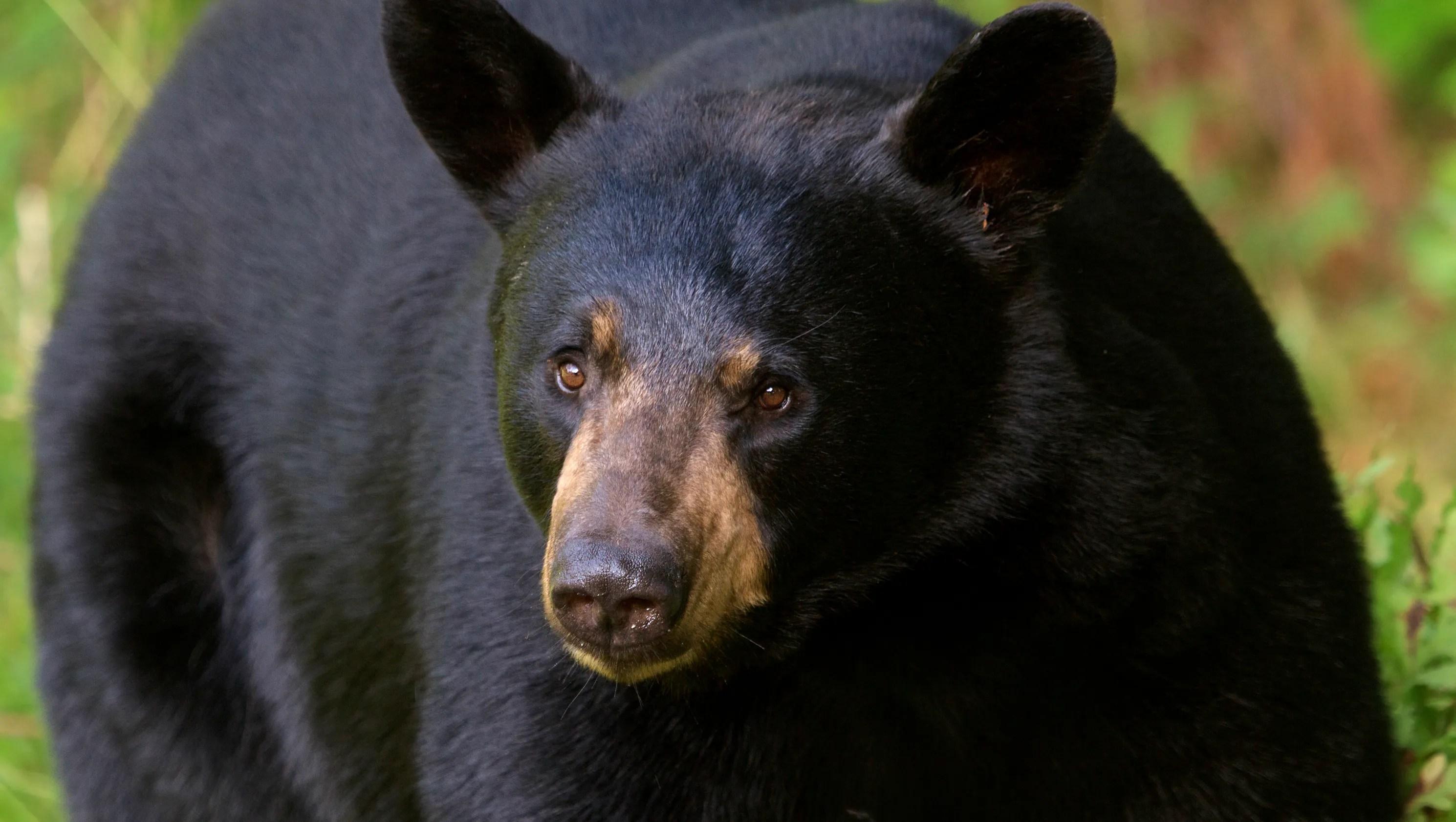 Black Bear Population Booming In Northern Michigan
