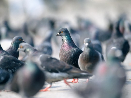 In large numbers, pigeons can be carriers of diseases. Their waste is acidic and can damage vehicle paint. They give off an unpleasant odor.