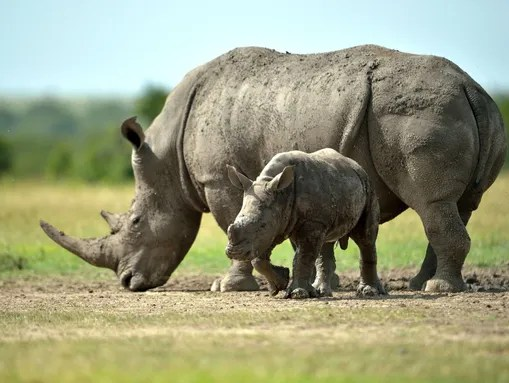A southern-white female rhino and her calf roam the