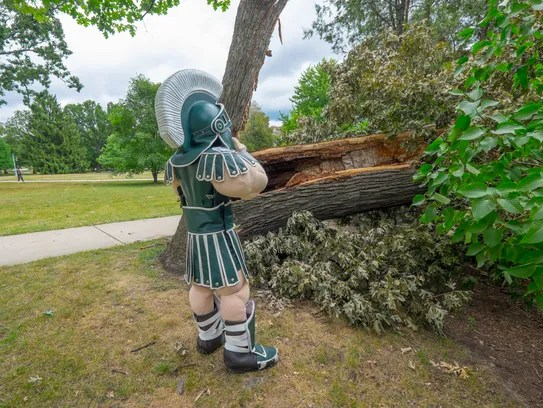 Sparty sheds a tear over the loss of 350 year old white oak tree