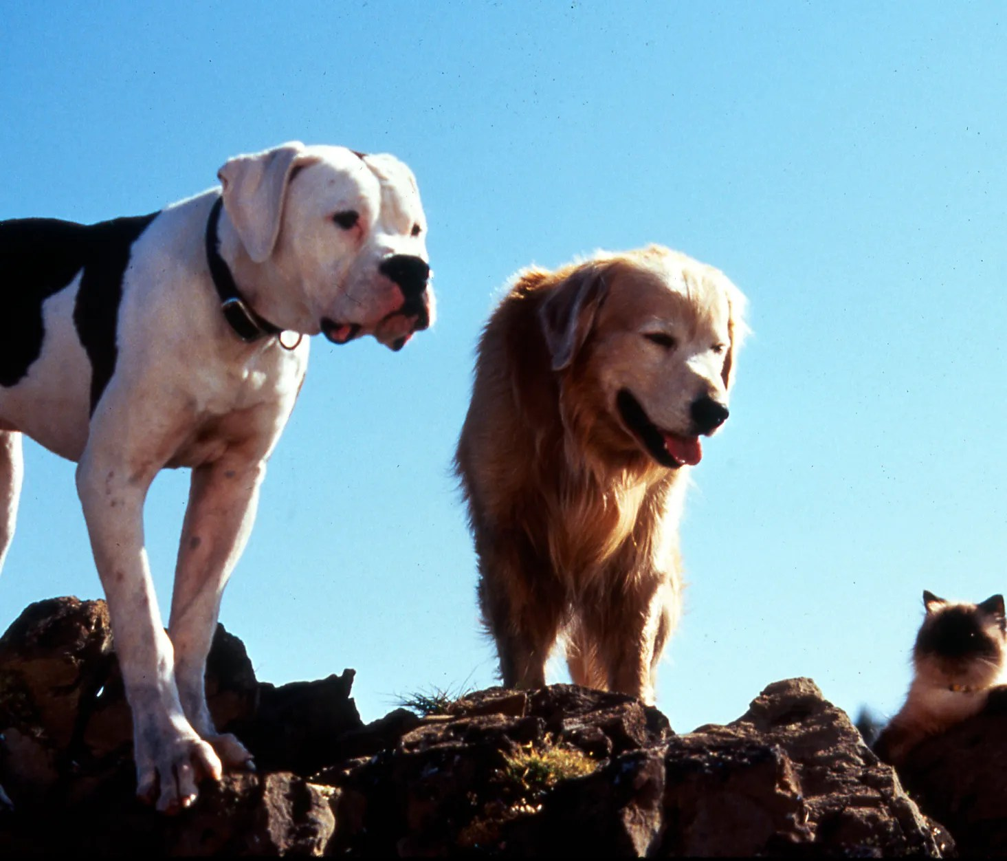 Chance and Shadow from Homeward Bound