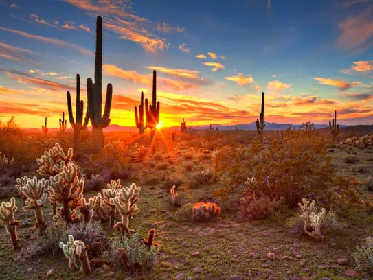 Sun is setting beetwen Saguaros, in Sonoran Desert,