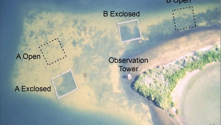 Researchers found fenced-in seagrass areas flourished, while manatees eat away surrounding seagrass.