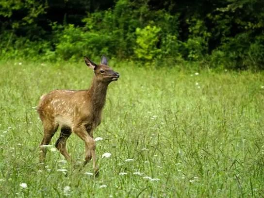 Elk Fawn druing Rut