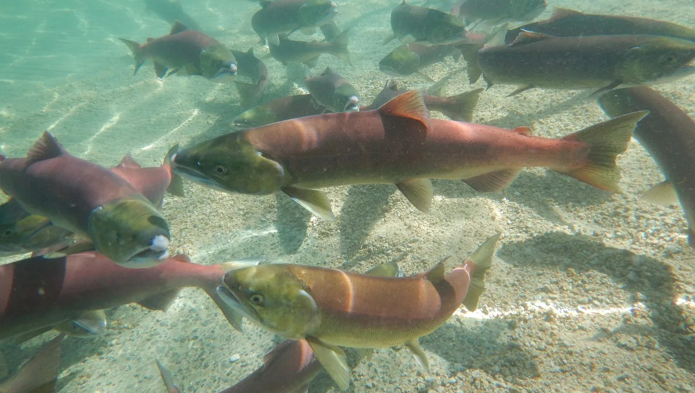 Heat Drought Cook Fish Alive In Pacific Northwest