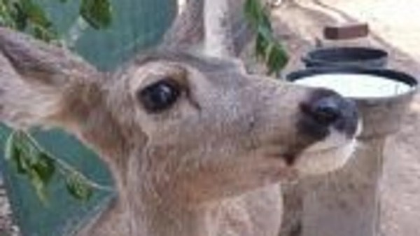 Arizona Game and Fish confiscates 'kidnapped' fawn near ...