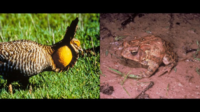 43. Texas     • Selected endangered species:  Attwater's Prairie-Chicken (tympanuchus cupido attwateri), Houston Toad (bufo houstonensis)