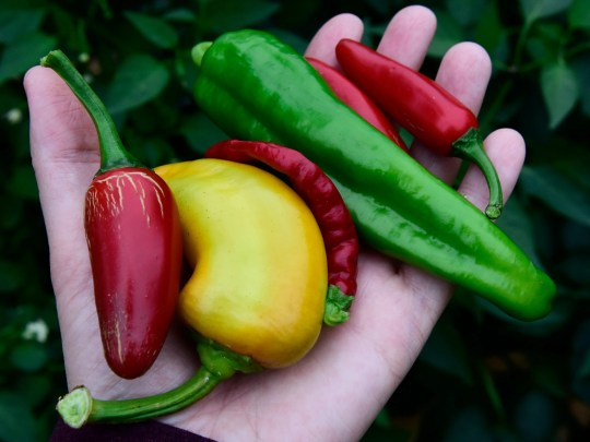 Roger Hart of Micah House grows 9 types of peppers for May Street neighborhood residents, including jalepeno, from left, sweet banana, cayenne, anaheim chile and serrano.
