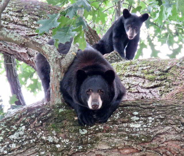 Haywood County Man Punches Black Bear In The Nose Suffers Minor Injuries