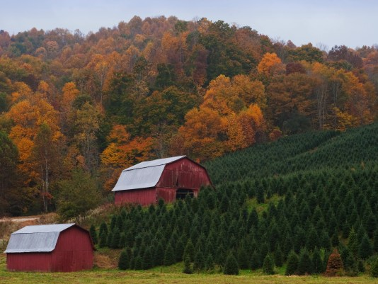 6 Ashe County Trees Christmas Trees Fall Color In Back
