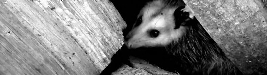Gizelle Guyette of Milton took this shot of an opossum living in her woodpile on Jan. 24, 2013.