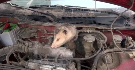 The South Burlington Police Department posted this photo of a opossum that became stuck while warming up under the hood of a car on March 4, 2015. The opossum was successfully rescued.