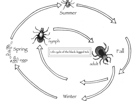 The black-legged tick — whose bite can transmit Lyme disease — goes through several stages of life before it emerges as an adult, as seen in this illustration by Adelaide Tyrol for Northern Woodlands magazine.