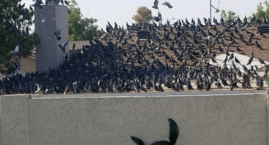 A photo of a Phoenix resident shows a flock of pigeons on the roof of a neighbor.