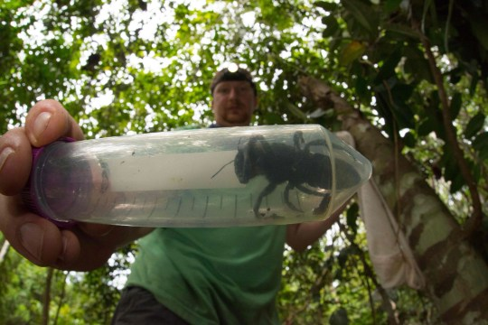 "Despite its conspicuous size, no one had observed Wallace's giant bee -- discovered in the 19th century by British naturalist Alfred Russel Wallace and nicknamed the ""flying bulldog"" -- in the wild since 1981, the Global Wildlife Conservation said."