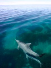 A dolphin mother and her calf, as seen in Shark Bay off the west coast of Australia.