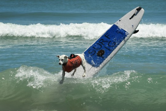 Surf Pig, a three-legged female Jack Russell seen here in 2019, was the 2018 and 2019 Top Overall champion of the East Coast Dog Surfing Championships. Surf Pig has since passed and will be memorialized at the 57th annual Easter Surf Festival featuring the 8th annual East Coast Dog Surfing Championships presented by Beachside Media.