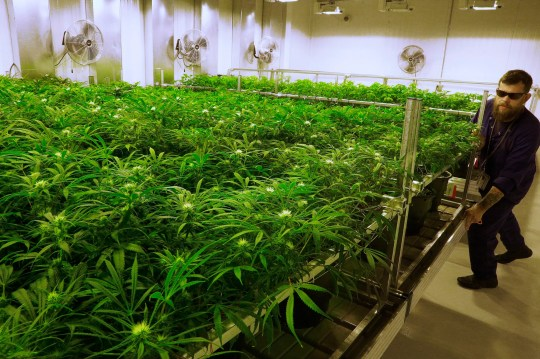A lead grower cares for marijuana plants at the Ataraxia medical marijuana cultivation center in Albion, Illinois in this 2015 photo.