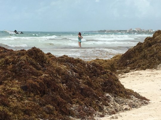 The beach in Tulum, Mexico, is overrun with sargassum, a foul-smelling algae, that has turned the water brown.