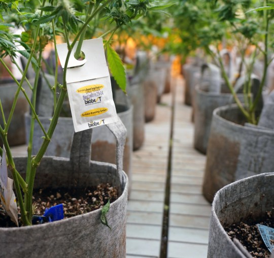 Marijuana plants growing at the L'Eagle Dispensary are hung with Biobest integrated pest management sachets as part of the facility's commitment to