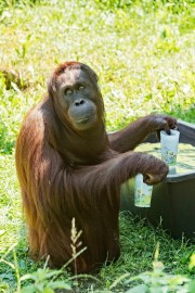 Un orangután llena sus vasos con agua en el zoológico Schoenbrunn en Viena, Austria, el martes 25 de junio de 2019. Europa se enfrenta a una ola de calor con temperaturas de hasta 40 grados.