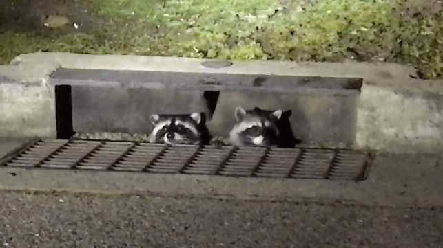 Raccoons can get into really weird places