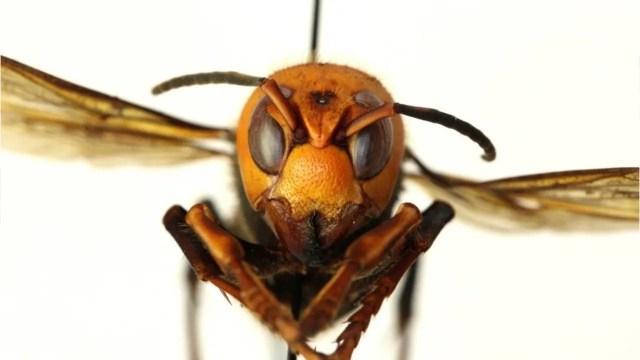 ea7d2fcf-da73-42b5-8357-3d8ffc5e16cb-VPC_ASIAN_GIANT_HORNET_desk Asian giant 'murder' hornet: 5 things to know about the invasive species