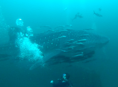 These Florida Divers Had a Rare Encounter With Whale Sharks and a Manta Ray. They Brought Back Video for the Rest of Us.