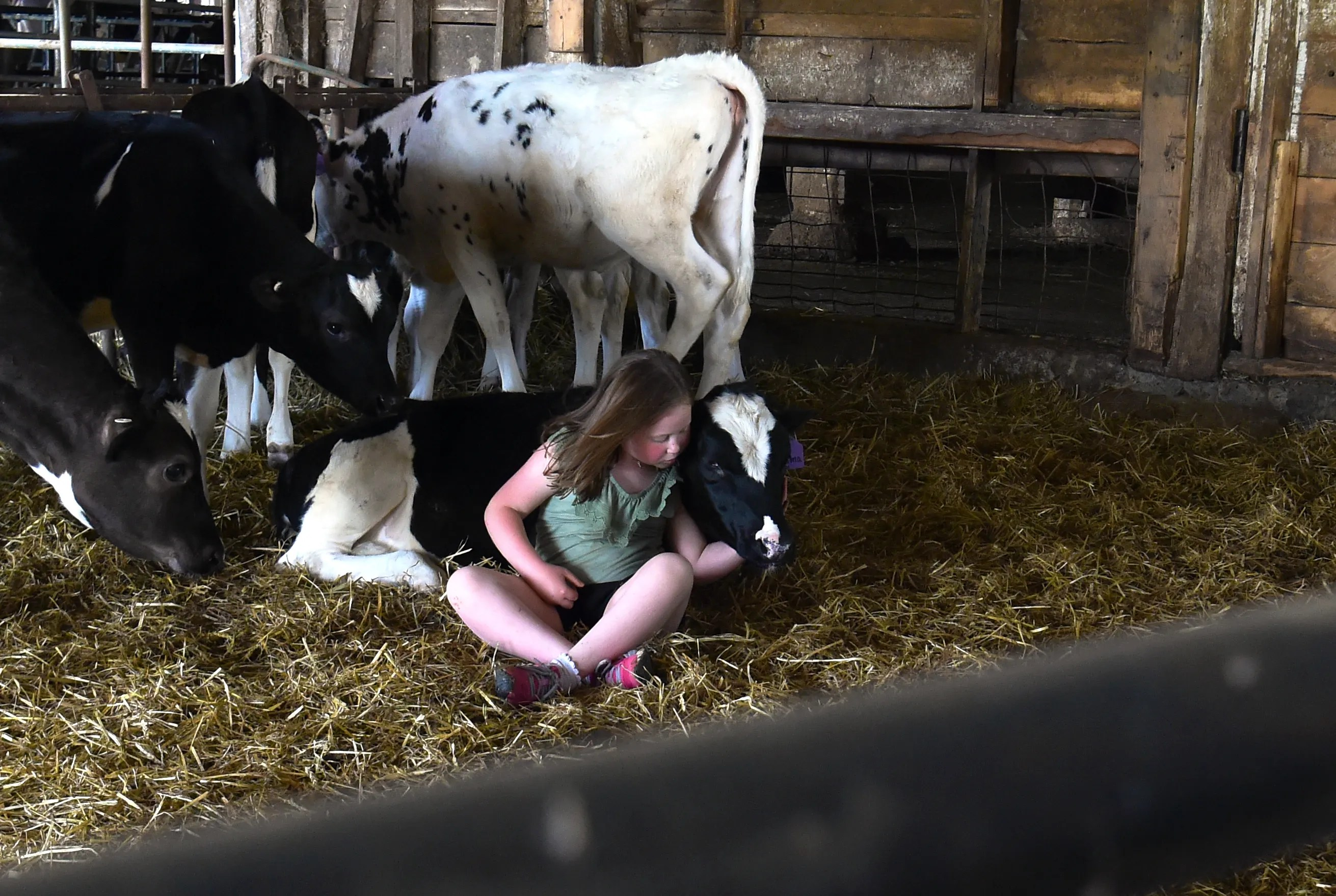Six-year-old AnnaMay Stauffer cuddles a cow at Sunset View Creamery, in Odessa, N.Y. on May 20, 2021. According to her mom, AnnaMay -- who has sensory processing disorders -- has benefited from frequent visits to the farm and has bonded with the animals.