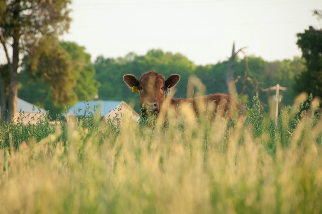 A red angus grazes at the Kerstiens family ranch in Lancaster, which grows cattle for Strauss Brands meats.
