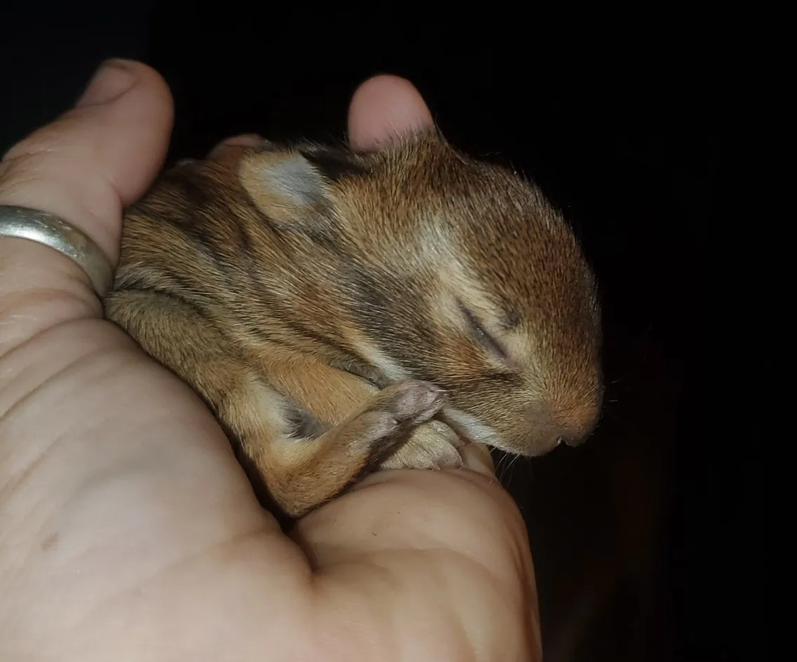 A baby rabbit is being cared for by David and Cheryl Cox, of Maine. The couple run We Are Their Voice Wildlife Care and Rescue LLC.