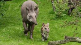 Tapir Baby Parima bei Hagenbeck (c) Hagenbeck 2012