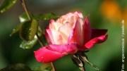 Im Garten von Ehren die Rosenwochen Foto: angieconscious / pixelio.de
