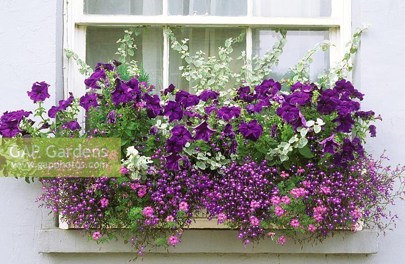 GAP Gardens Summer Flowering Purple Theme Window Box