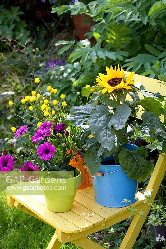 Purple Osteospermum, Chrysanthemum segetum - Corn Marigold and Dwarf Sunflowers in bright containers