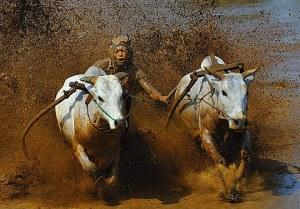 karapan-sapi-best-action