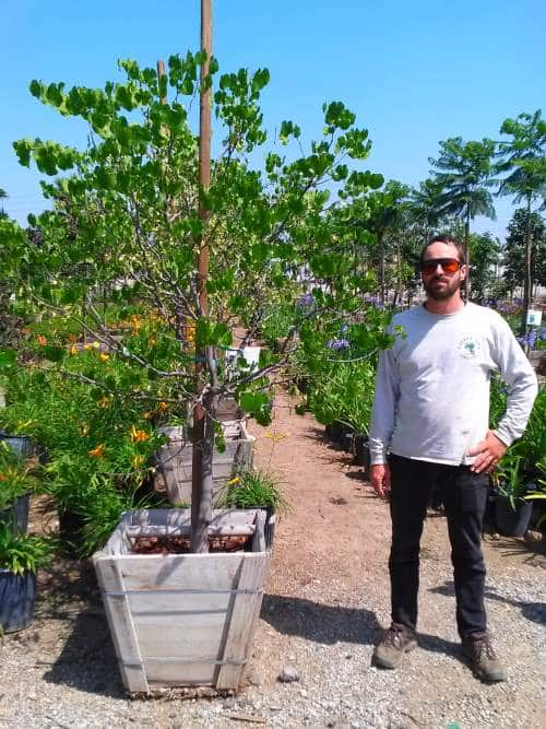 Quot Texas White Quot Redbud Trees Cercis Reniformis