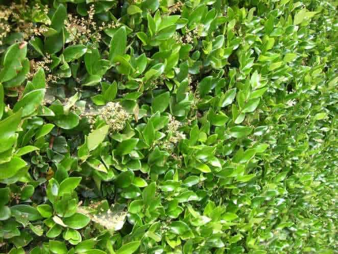 Ligustrum Japonicum Texas Privet Hedges